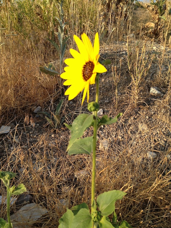 Find God In A Sunflower Finding God Daily